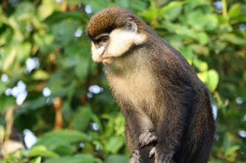 Computers are able to use monkey facial patterns not only to correctly identify species, but also distinguish individuals within species, a team of scientists has found. Their findings, which rely on computer algorithms to identify guenon monkeys, above, suggest that machine learning can be a tool in studying evolution and help to identify the factors that have led to facial differentiation in monkey evolution. Image courtesy of George Perry.