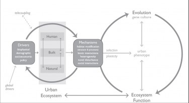 The work of Marina Alberti of the UW College of Built Environments shows that key urban drivers of change influence eco-evolutionary dynamics through interactions among the human, natural, and built system components of the urban ecosystem. This happens through a series of subtle mechanisms including changes in habitat, biotic interactions, novel disturbance and social dynamics.Trends in Ecology & Evolution