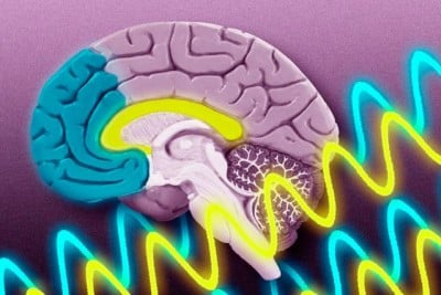 Two areas of the brain — the hippocampus (yellow) and the prefrontal cortex (blue) — use two different brain-wave frequencies to communicate as the brain learns to associate unrelated objects. Illustration: Jose-Luis Olivares/MIT