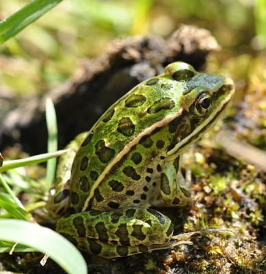 The northern leopard frog is a species of leopard frog from the true frog family, native to parts of Canada and United States. It is the state amphibian of Minnesota and Vermont. Image: Douglas Wilhelm Harder