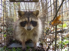 A captured raccoon peers out of the trap before being tested for the presence of placebo bait. Image credit: James C. Beasley