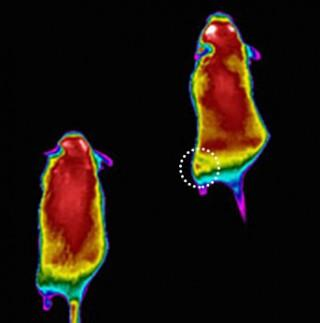 "Image shows colorized infrared images of mice after performing low-intensity exercise on a treadmill. The mouse on the right was treated with a targeted vivo-morpholino injection that suppresses the KATP channel. The mouse on the left is a control. The image shows a ""hot spot"" (circled) on the left hind thigh of the treated mouse (right) indicating excess heat produced by injected muscles, which burn more calories due to loss of the KATP protein. Image credits: Leonid Zingman."