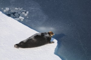 A bearded seal on the sea ice in Baffin Bay. Trends for this population are unknown. Image credit: Øystein Wiig, University of Oslo