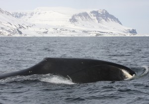 A bowhead whale in Disko Bay, West Greenland. The report finds that this population may be growing. Image credit: Kristin Laidre / UW