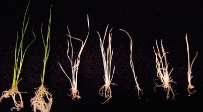 Deploying a new strategy for multiplex genome editing, researchers used CRISPR/Cas9-mediated mutation to knock out a specific gene controlling pigment, generating albino rice seedlings. The new approach is expected to increase the efficiency of making genetic improvements in a wide range of organisms. Image: Yinong Yang