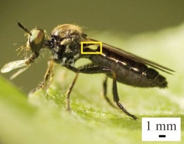 A robber fly with a very large haltere (inside yellow box). Halteres are sensors that act like gyroscopes, providing information about the insect's body rotations during flight. Image credit: Armin Hinterwirth