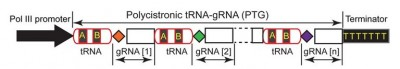 Schematic depiction of the synthetic tRNA-gRNA gene with tandemly arrayed tRNA-gRNA units, each of which contains a target-specific gRNA spacer (colored diamonds) for genome editing. Image: Yinong Yang