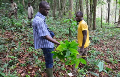 Study co-author Gonedele Sere, on left, holds a cocoa plant found at an illegal farm in the Dassioko Forest Reserve in Ivory Coast. Image credit: W. Scott McGraw,  Ohio State University