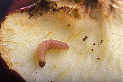 A mature codling moth larva on a sliced apple. Image credit: Peggy Greb.