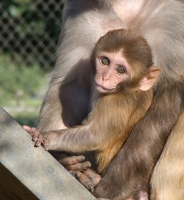 The study revealed the first comprehensive macaque milk proteome and newly identified 524 human milk proteins. (UC Davis photo)