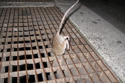 A Norway rat drops down a grate in New York City. Rats in New York City were found to carry a flea species capable of transmitting plague pathogens. Photo credit: Matthew Frye