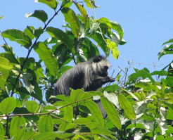 The loud calls of the king colobus monkey, also known as the black and white colobus, performed best in this study. © MPI for Evolutionary Anthropology / Ammie Kalan
