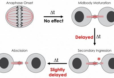 Cytokinesis was substantially delayed and more cells failed to divide properly when WRD5 in cells was artificially reduced.