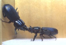 """Two passalus beetles engage in combat in an arena set up in Andy Davis's lab. During combat, beetles typically attempt to lift each other off the """"mat."""" Image credit: Andy Davis/UGA"""