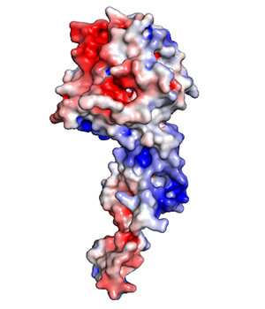 A protein — shown in red, white and blue — typically coats the genome of the Ebola virus, providing protection from enzymes that can destroy the virus's genetic material. This protein coat is removed to allow the virus to replicate its genome in infected cells. New research led by Washington University School of Medicine shows that interfering with the removal and the return of the protein coat to the viral genome can kill the Ebola virus, a discovery that opens the door to more effective treatments. Image credit: Amarasinghe Lab