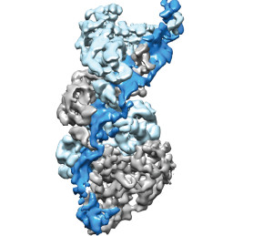 Type III CRISPR-Cas complexes were shown to use a thumb-like domain (top right corner) to target specific sites on an RNA molecule for the destruction of invasive nucleic acids. Image credit: Eva Nogales