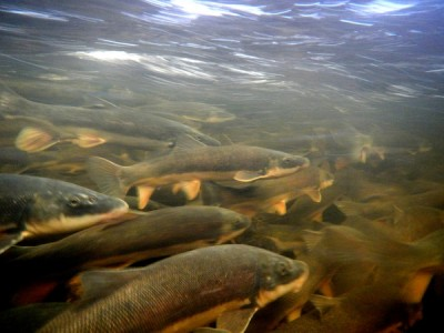 Breeding migrations of native Great Lakes fishes, like the suckers shown here, are often blocked by impassable road crossings and dams. Image credit: Evan Childress