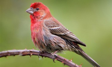 House finch. Image credit: nigel / Wikimedia Commons