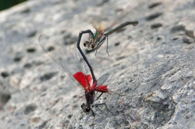 Mating damselflies. Researchers found that male damselflies often have difficulty distinguishing between females of their own species and another species when making quick decisions about whether to pursue a mate. Courtesy of Mark Bjorklund