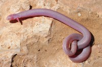 Mexican Worm Lizard, Bipes biporus. Image credit: Adam Clause