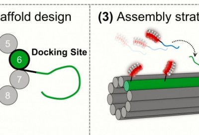 Left: The docker (green) appended to one of the strands that forms the nanotube; right: linkers and dockers are spaced 7 nm apart.
