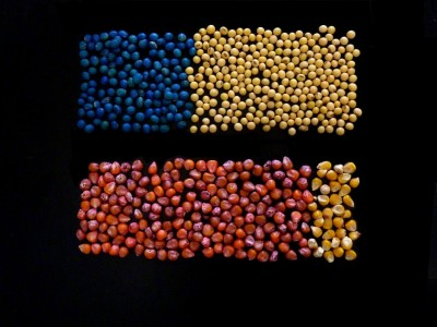 Use of a class of insecticides, called neonicotinoids, increased dramatically in the mid-2000s and was driven almost entirely by the use of corn and soybean seeds treated with the pesticides. Image shows treated soybean seeds (blue), versus untreated soybean seeds at the top and treated corn seeds (red) versus untreated corn seeds at the bottom. Image: Ian Grettenberger, Penn State