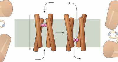 Rocker protein world's first engineered to transport ions (pink). Credit: Andrei N. Lupas Science 2014;346:1455-1456.