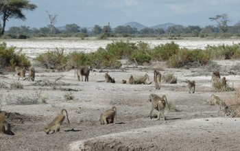 Baboon group in Amboseli, Kenya, drinking from rainpools that are slowly drying up in a  drought. Image credit: Susan Alberts
