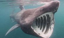 If a member of the public spots a basking shark, the team would like them to call the hotline as soon as possible on 07935 098122 and give approximate location, date, time and number of sharks
