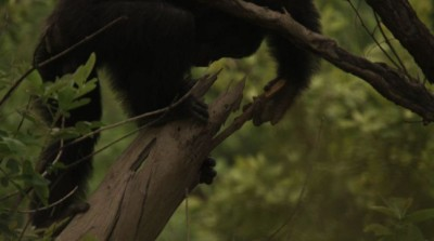 Jill Pruetz says the environment and social tolerance may explain why savanna chimps, particularly females, are more likely to hunt with tools. Image credit: BBC