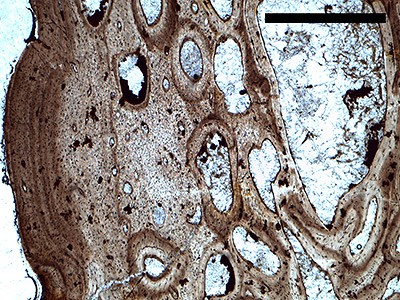 """Dinosaur bones exhibit internal layers that mark each year of growth, similar to tree rings. When an animal's full growth is reached, the rings become a tightly packed outer layer called an """"external fundamental system,"""" or EFS (above). Using a microscope, Saitta saw reduced growth in both varieties of plates, and an EFS in two of the tall and narrow plates. This established that the tall and wide plates came from both sexually mature young adults and fully grown old adults. Image credit: Evan Saitta, University of Bristol"""