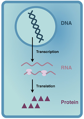 DNA is transcribed into mRNA, which is then translated by ribosomes into proteins. UC Berkeley researchers demonstrated that dysregulation of the gene expression program governed by a ribosomal protein called eIF3 leads to increased cell growth and carcinogenesis. That makes this protein an ideal anticancer drug target. Image credit: Amy Lee