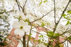 A dogwood tree shows off its flowers on the University of Georgia campus. Image credit: Peter Frey/UGA