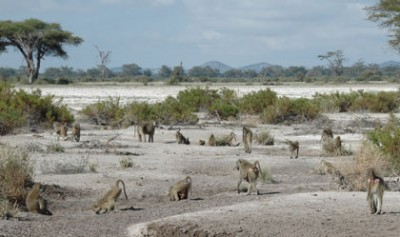 After the plains of southern Kenya experienced a severe drought in 2009 that took a terrible toll on wildlife, researchers at Duke University and Princeton University looked at how 50 wild baboons coped with the drought, and whether the conditions they faced in infancy played a role. Photo courtesy of Susan Alberts.