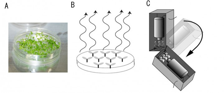 Image A is a culture dish of Arabidopsis seedlings for the Plant Gravity Sensing investigation. Image B illustrates photon emission from the plants when plants are rotated and calcium ion concentrations increase. Image C illustrates the apparatus for rotating plants and detecting photon emissions. Image Credit: JAXA/Hitoshi Tatsumi