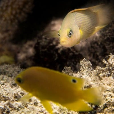 Dottyback eyeing off its juvenile damselfish prey. Dottybacks change color to imitate the parental fish of the juveniles they prey upon