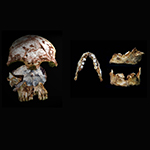 Researchers found an ancient human skull, left, with modern characteristics, and a human jaw, right, with modern and archaic traits, in the same cave in northern Laos. Both artifacts date to 46,000 to 63,000 years ago.  | Photo by Fabrice Demeter