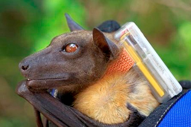 A flying fox is tagged with a larger device in the Kasanka National Park in Zambia in Southern Africa. The ICARUS project hopes to create smaller, more inconspicuous devices to track these creatures from space. Credits: ICARUS