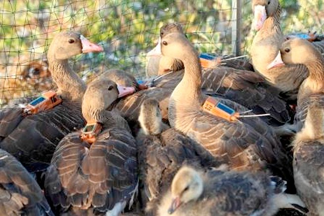 Geese on Kogluev Island on the Arctic Sea in Russia are tagged with lightweight devices to assist in tracking their migratory patterns. Credits: ICARUS