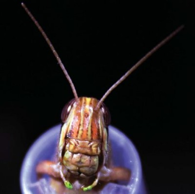 Baranidharan Raman, PhD, and his team trained locusts to recognize odors to learn more about how the brain processes stimuli. Image credit: Baranidharan Raman