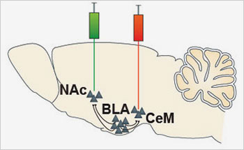 The researchers pinpointed separate brain circuits for positive and negative associations in mouse brain by injecting retrograde fluorescent bead tracers (green, red) that migrated upstream through neuronal projections linking a reward center (NAc, nucleus accumbens) and a fear center (CeM, centromedial amygdala) to an emotional memory crossroads (BLA, basolateral amygdala).  Image credit: Praneeth Namburi, Anna Beyeler, Ph.D., Kay M. Tye, Ph.D., MIT