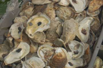 In a major breakthrough in shellfish management and disease prevention, UNH has applied for a patent for a new method of detecting a bacterium that has contaminated New England oyster beds and sickened consumers who ate the contaminated shellfish. Image credit: NH Sea Grant