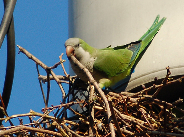 The two independent invasions of monk parakeets that have occurred in the United States and in Europe over the last 40-50 years appear to have originated from the same small area in the native range in South America. Image credit: Steve Baldwin, brooklynparrots.com