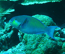 Parrotfish produce more than 85% of the new sand-grade sediment on the reefs around these reef islands.