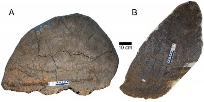 The short and wide plates (left) from S. mjosi were 45 percent larger in surface area than the taller, pointier plates. This variation is unique to this S. mjosi as other species of Stegosaurus have distinct plates shared by all individuals. Image credit: Evan Saitta, University of Bristol