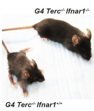 Blocking the interferon pathway in mice with a premature aging condition improved their lifespan, body condition and fertility.