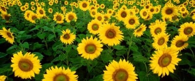 sunflower_0