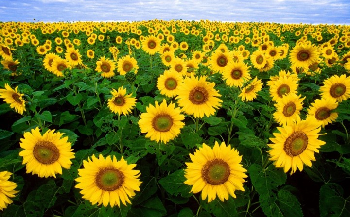 Sunflower seeds and oil are a particularly good dietary source of vitamin E, which is vital for maintaining healthy brain. (Photo by Bruce Fritz, courtesy U.S. Department of Agriculture)