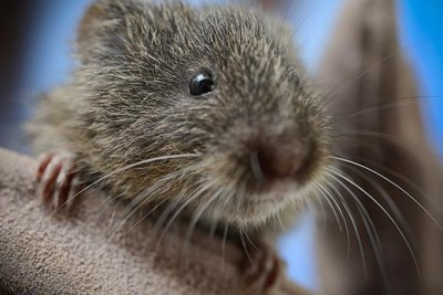 Less than a year after the UC Davis School of Veterinary Medicine began a captive breeding program, more than two dozen Amargosa voles like this one are rejoining their cousins in the wild this month. (Don Preisler/UC Davis School of Veterinary Medicine photo)