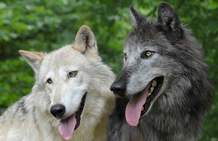Myth of tolerant dogs and aggressive wolves refuted – scientists found that dogs have steeper dominance hierarchy. Photo: Walter Vorbeck